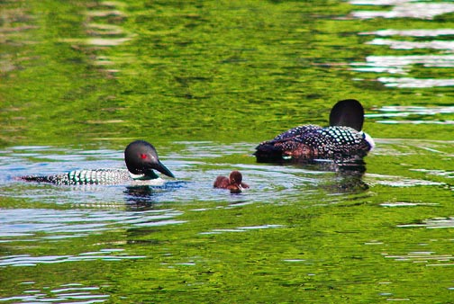 Squam Sound recording studio: Loon family on the lake<br />